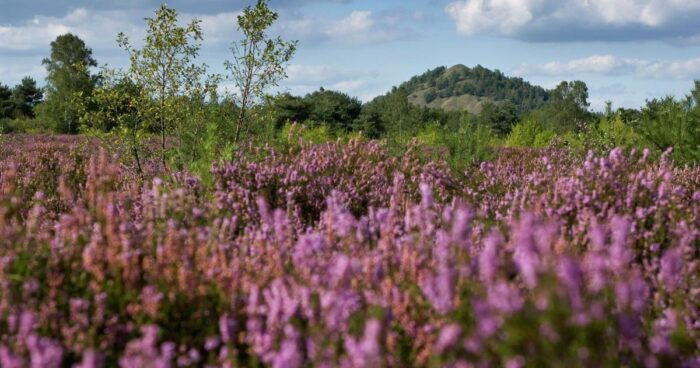 Wandelen paarse-pracht Maasmechelen